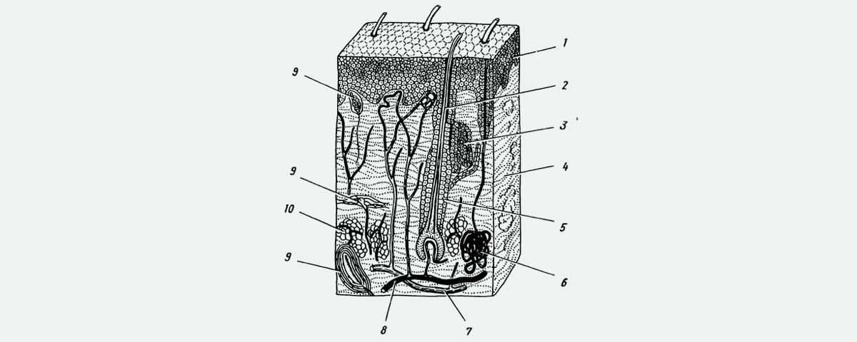 epidermide, derma e ipoderma